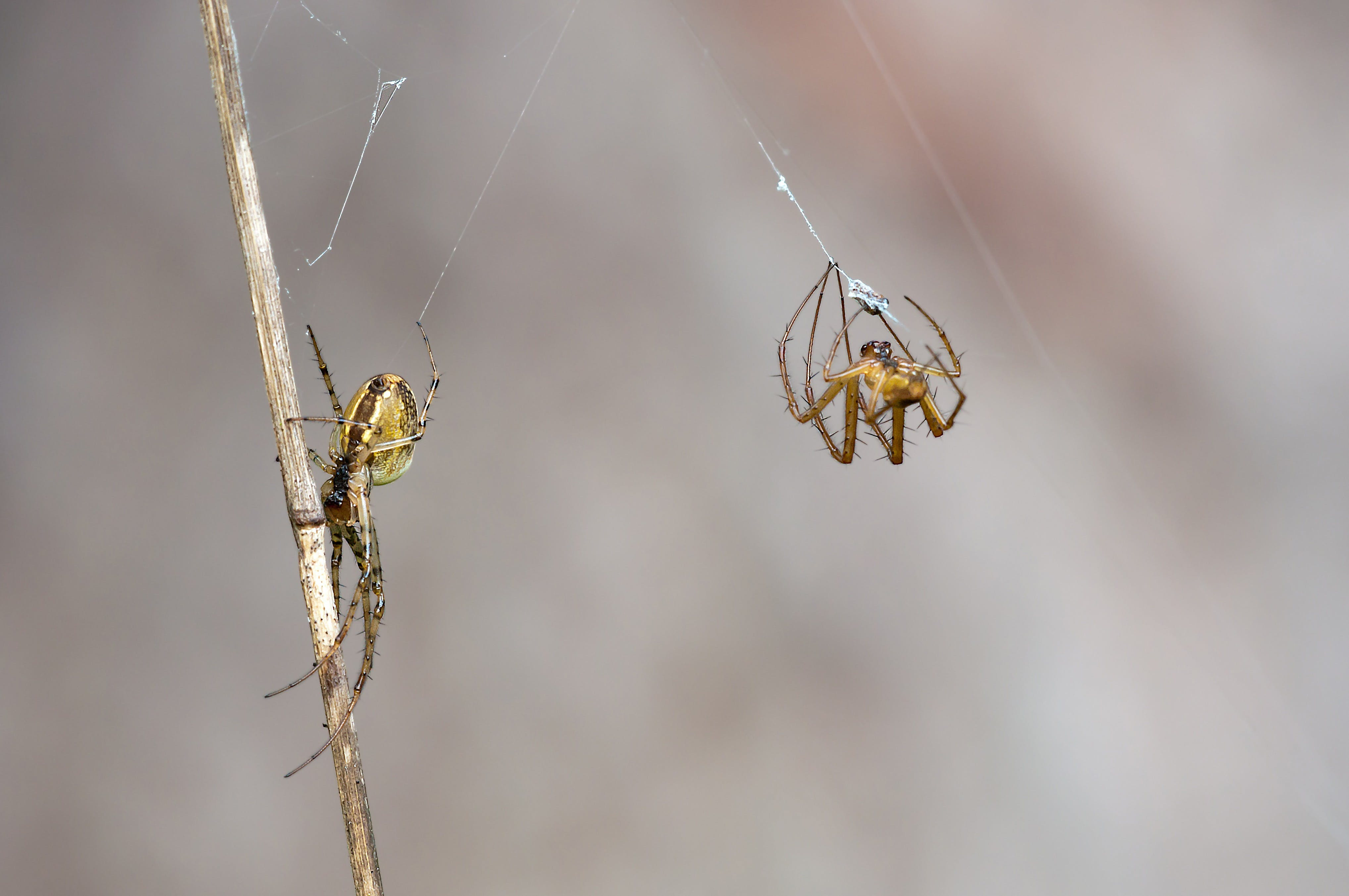 2 Yellow Orb Weaver Spider Weaving Web