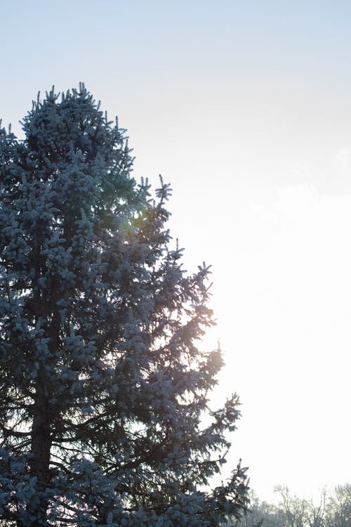Low angle of huge evergreen tree growing in nature under sky with burning sun