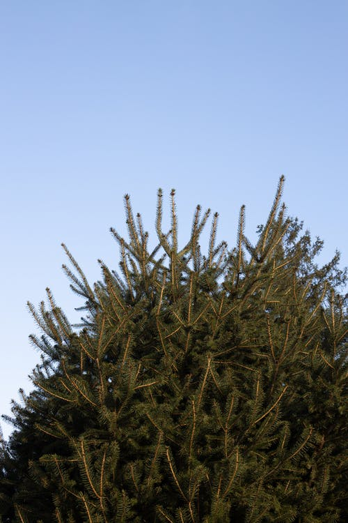 Branches of spruce tree under blue sky