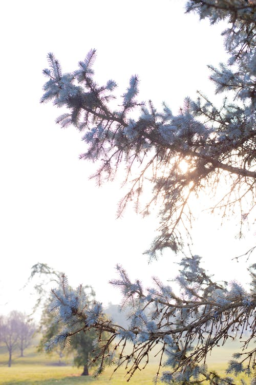 Sunlight penetrating coniferous branches in park