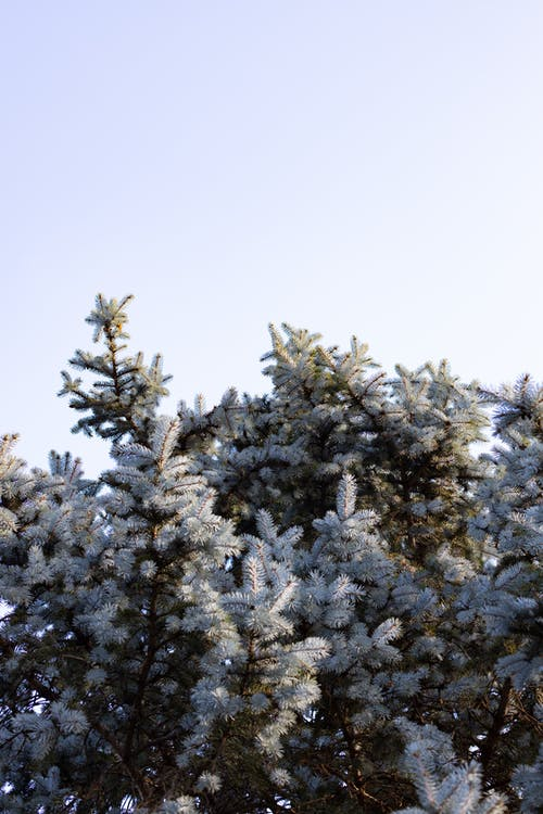 Branch of blue spruce in park