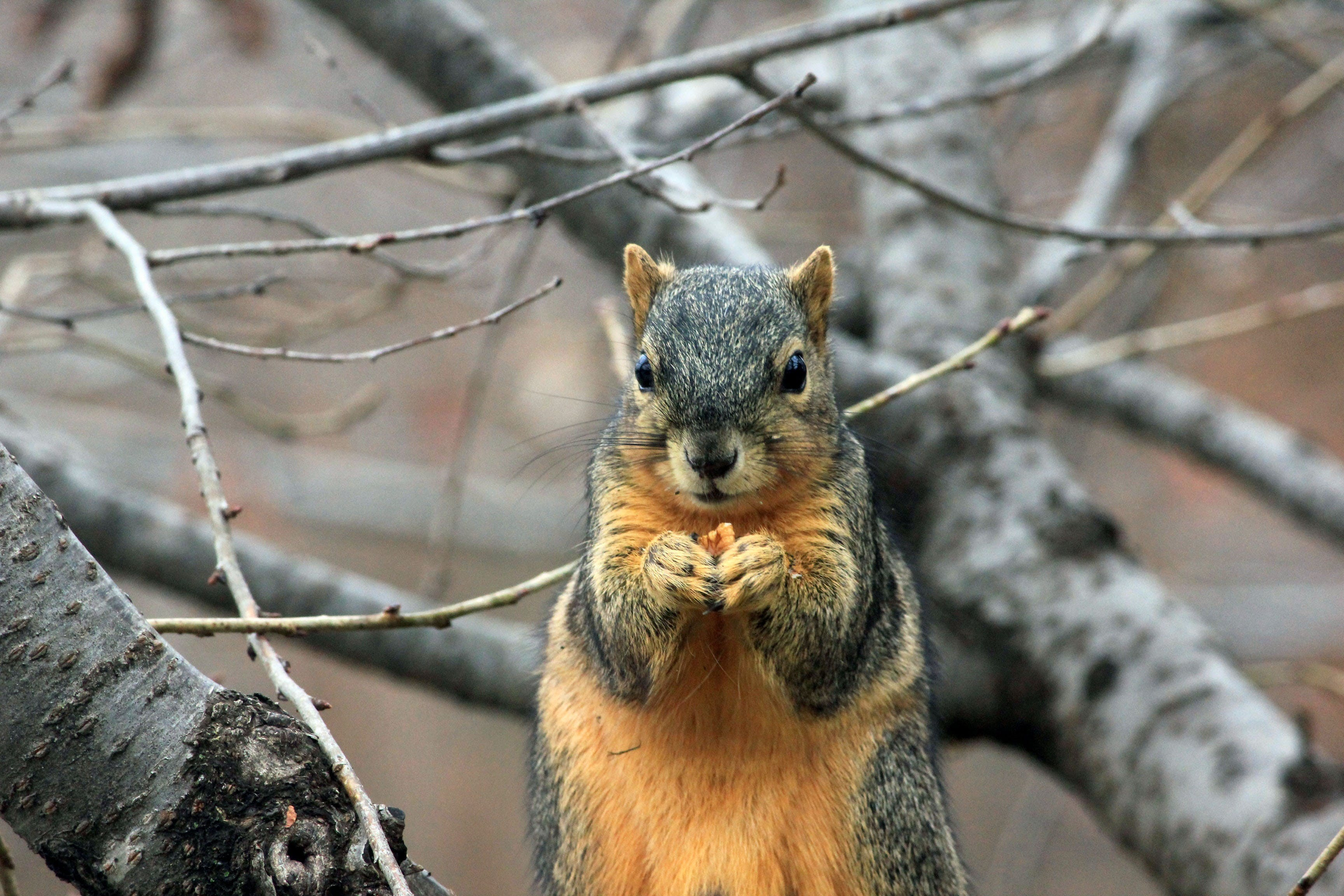 Gray and Orange Squirrel Beside Tree Branch