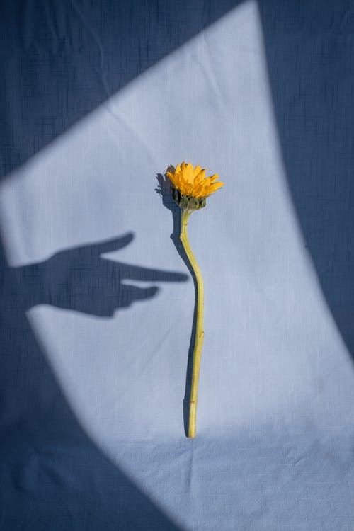 Female hand shadow near tender yellow dandelion placed on blue fabric in bright sunlight