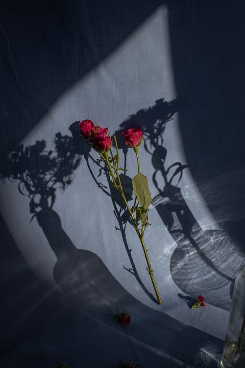 Composition of tender red roses placed on blue textile near vase shadows in bright sunlight