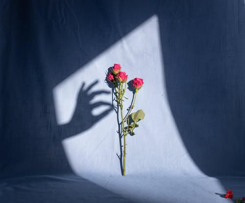 Composition of graceful female hand shadow touching tender red bush rose branch placed on blue textile in bright sunlight