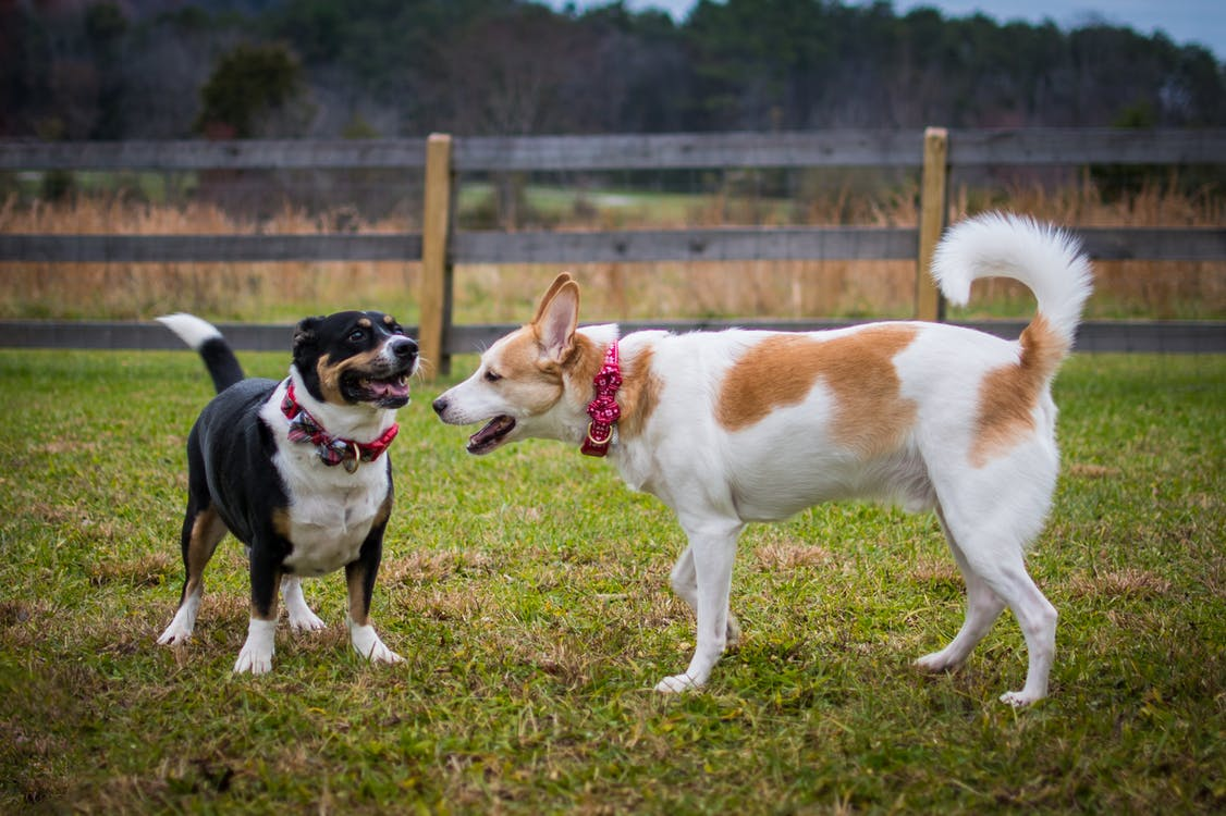 2 Dogs on Green Grass Field