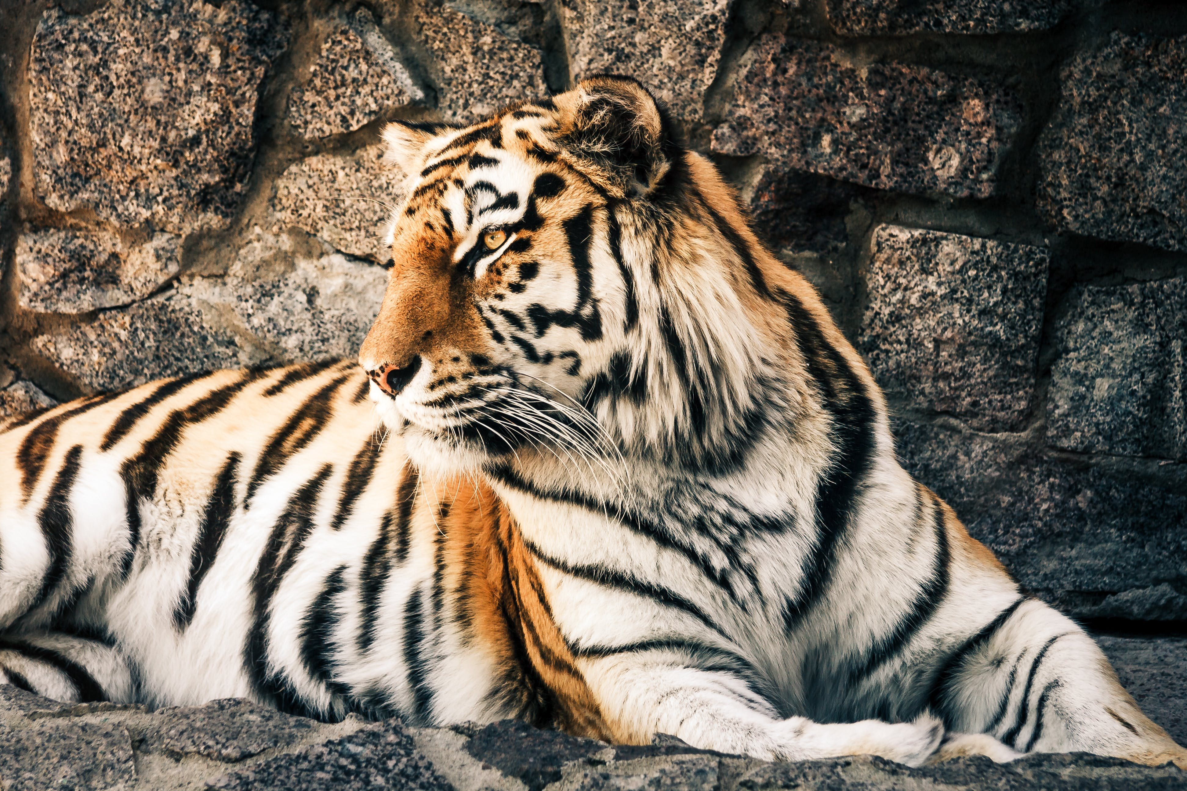Bengal Tiger Sitting Beside Gray Wall
