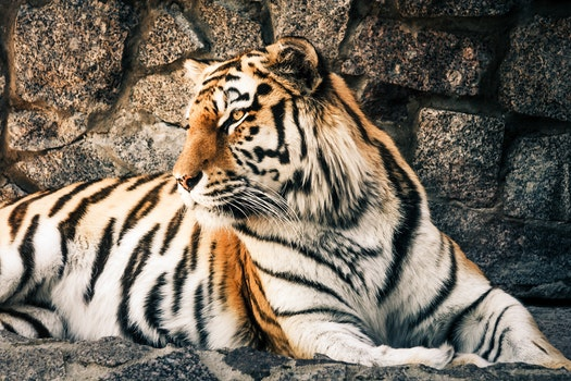 Free stock photo of animal, fur, dangerous, zoo