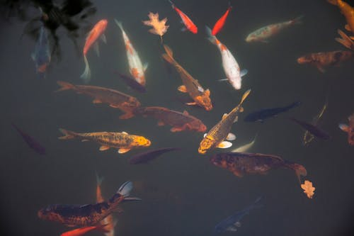 School of Orange and White Koi Fishes Underwater