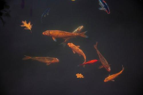 Koi Fishes Underwater
