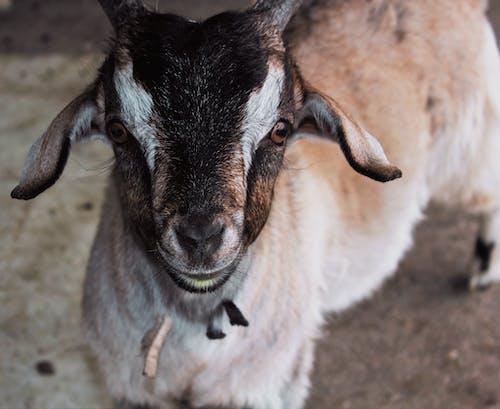 Gratis lagerfoto af baby, dyr, får