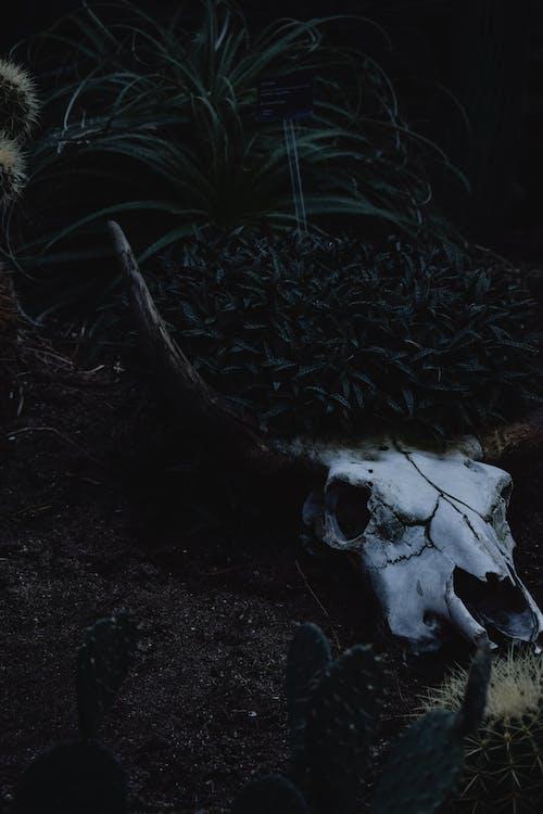 Crânio De Animal Branco Em Solo Marrom