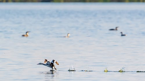 Wild water birds swimming in lake in nature