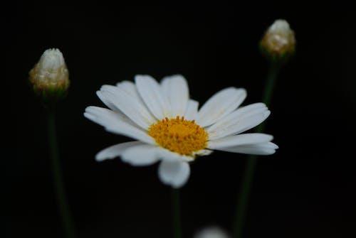 Бесплатное стоковое фото с белая маргаритка, белый, белый цветок