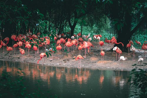 Caribbean flamingos with bright plumage reflecting in rippled pond while standing on terrain against trees in daylight