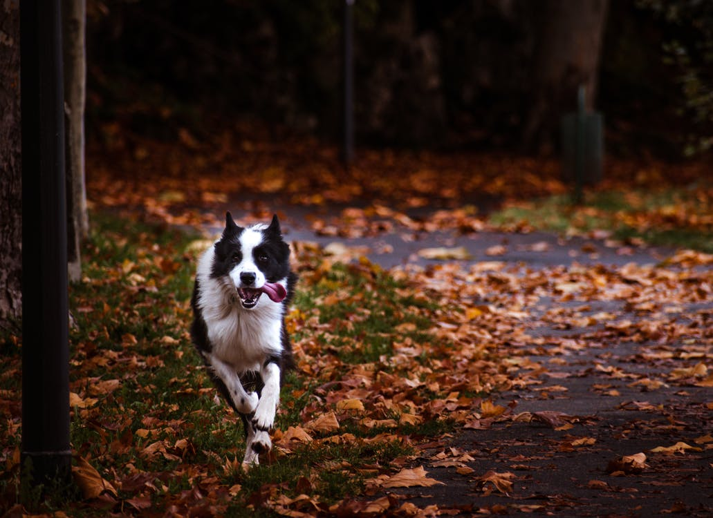 Black and White Border Collie Running on Brown Dried Leaves