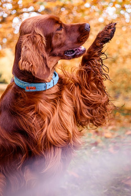 Brown Long Coated Dog With Blue Collar