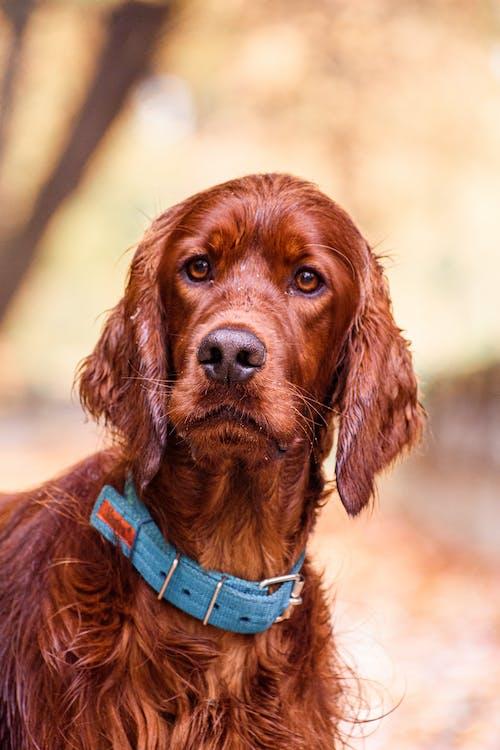 Brown Short Coat Medium Dog