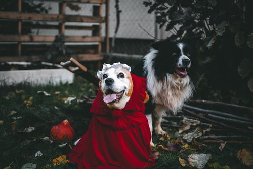 White and Black Border Collie in Red Dress Sitting on Ground