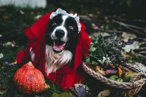 Black and White Border Collie in Red and Brown Coat