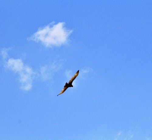 Foto d'estoc gratuïta de Àfrica, àguila, gran alçada, ocell volant