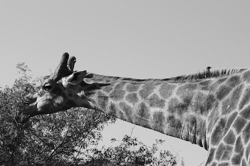 Foto d'estoc gratuïta de alt, animals en estat salvatge, au, espais