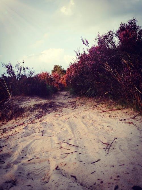 Foto d'estoc gratuïta de Camí, cel, dunes de sorra, flors morades