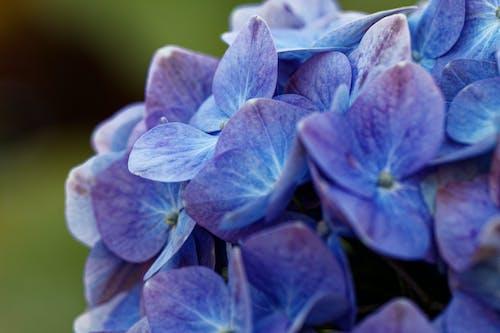 Close-Up Shot of Purple Hydrangea in Bloom