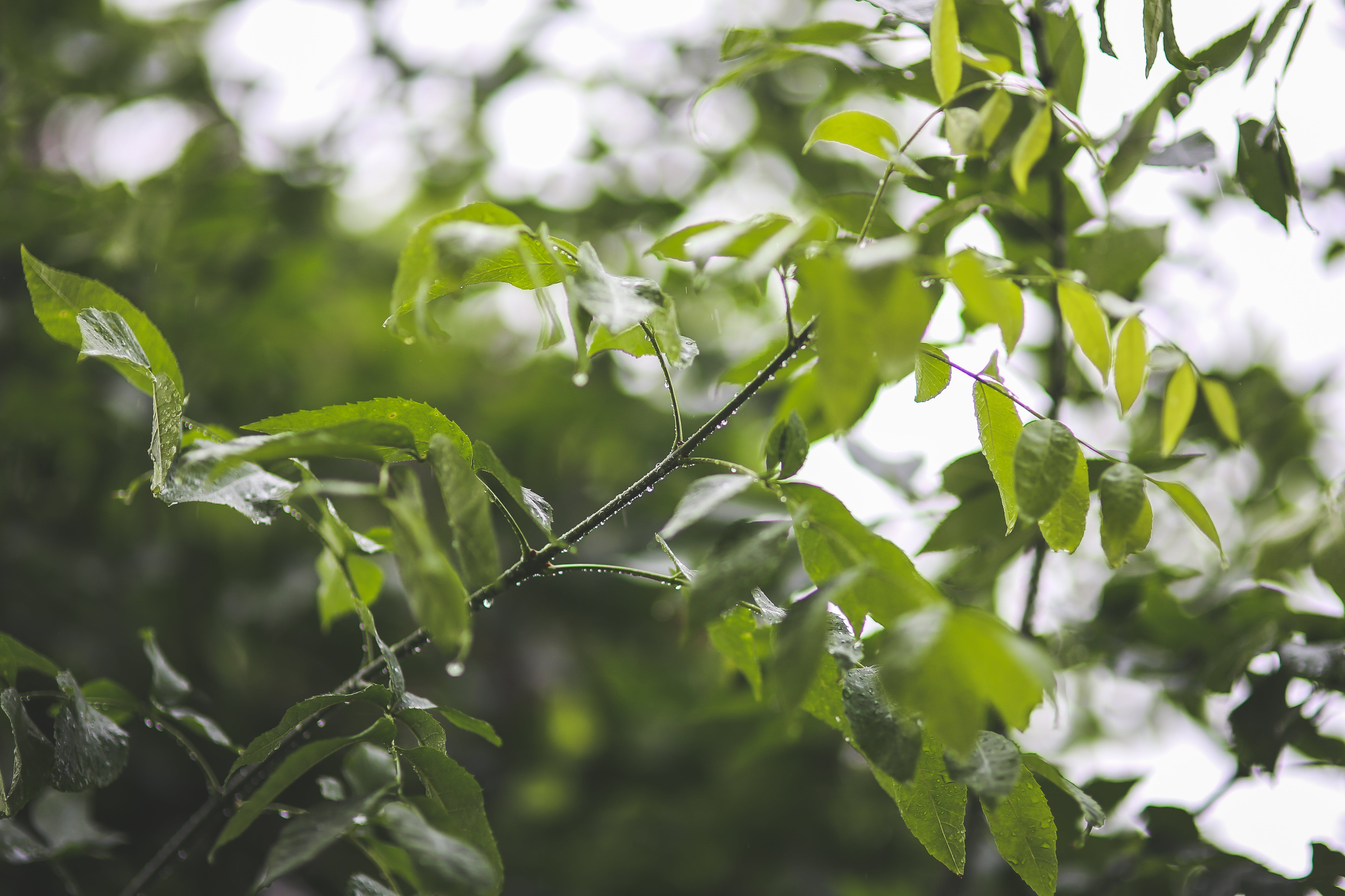 Drops of rain on a branch