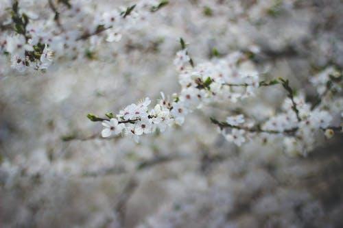 Photos gratuites de arbre, branche, fleur de cerisier, fleurs