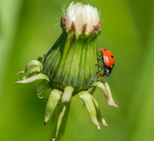 Ladybug on Green Flower Bud