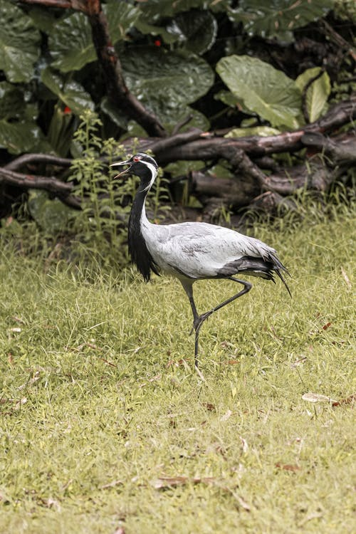 Graceful crane with long neck and gray plumage standing on lawn against lush plants in zoological garden
