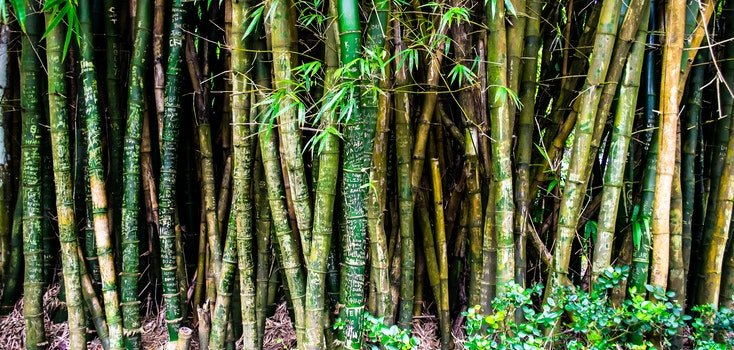 Bunch of Green and Brown Bamboos