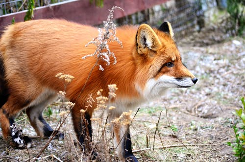 From above of adorable Korean fox with long red fur standing on dry grassy ground in zoo in daytime