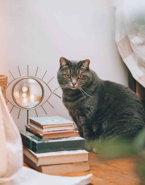 Безкоштовне стокове фото на тему «великий кіт, всередині, знання, кішка»