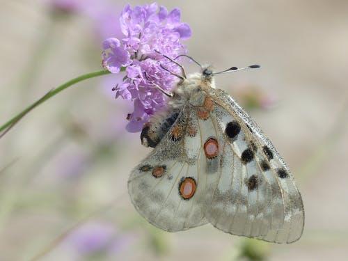 Základová fotografie zdarma na téma Apollo, flóra, hmyz, jasoň