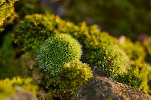 Kostenloses Stock Foto zu fels, grün, moos, nahansicht