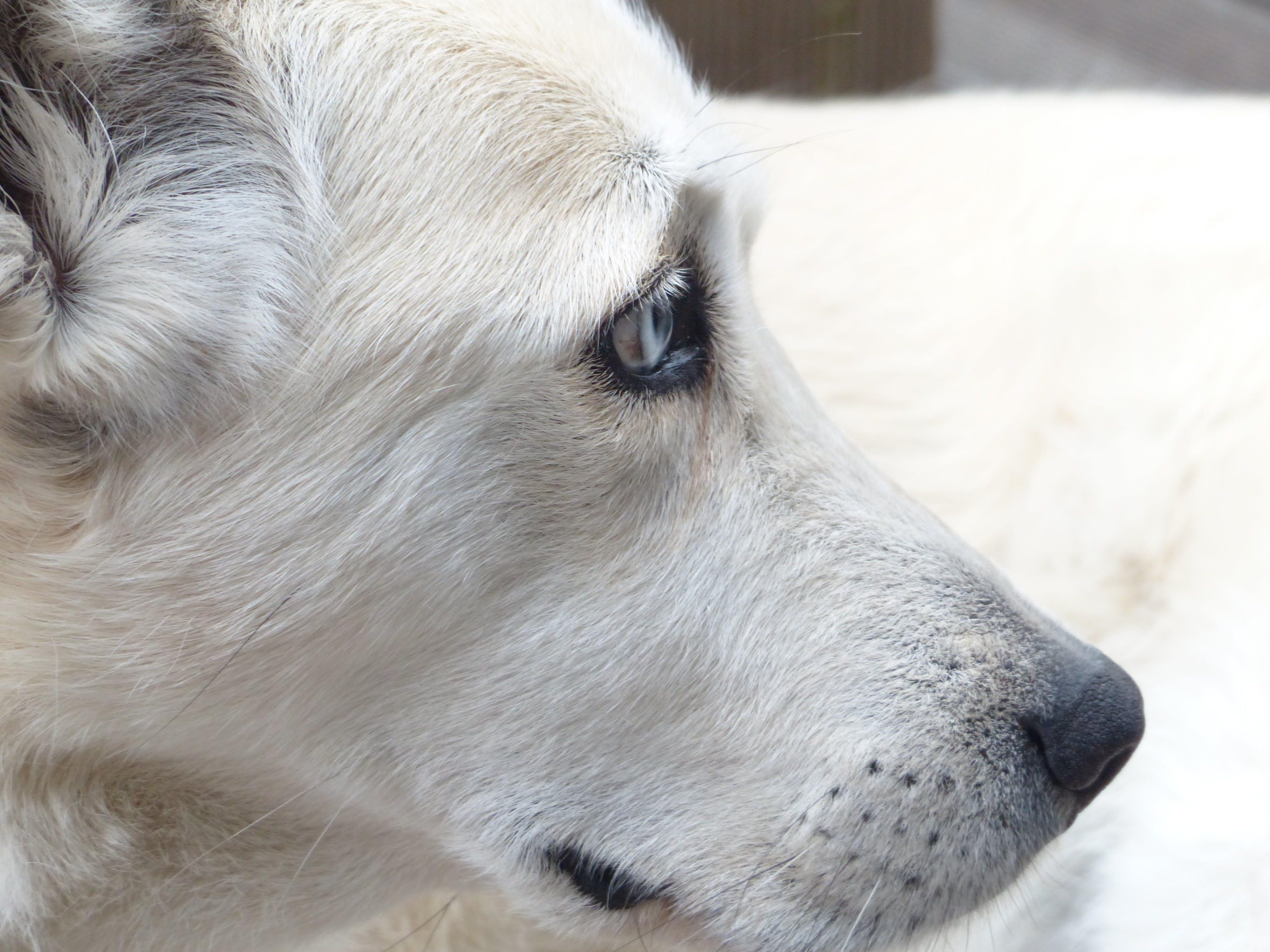 White Short Coated Dog Face