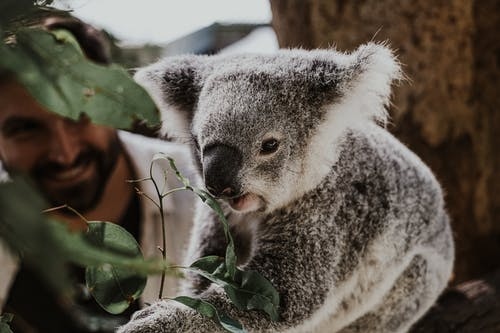 Close-up Photo of Koala Bear