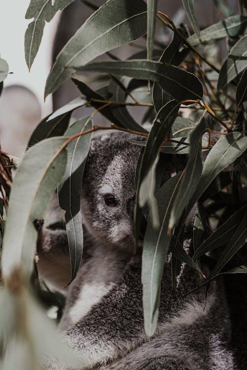 Gratis stockfoto met buideldier, dierenfotografie, herbivoor
