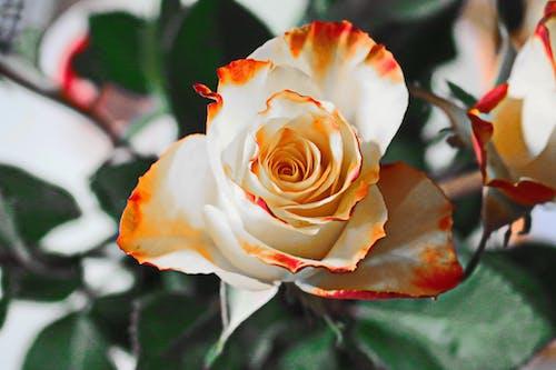Безкоштовне стокове фото на тему «завод, квітка, макрофотографія, пелюстки»