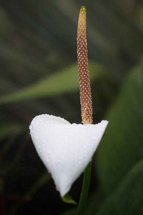 Foto profissional grátis de araceae, arum, close, flor