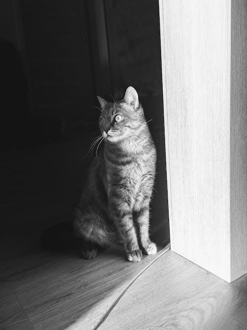 Ilmainen kuvapankkikuva tunnisteilla kissan kasvot, kissan silmät, kisu