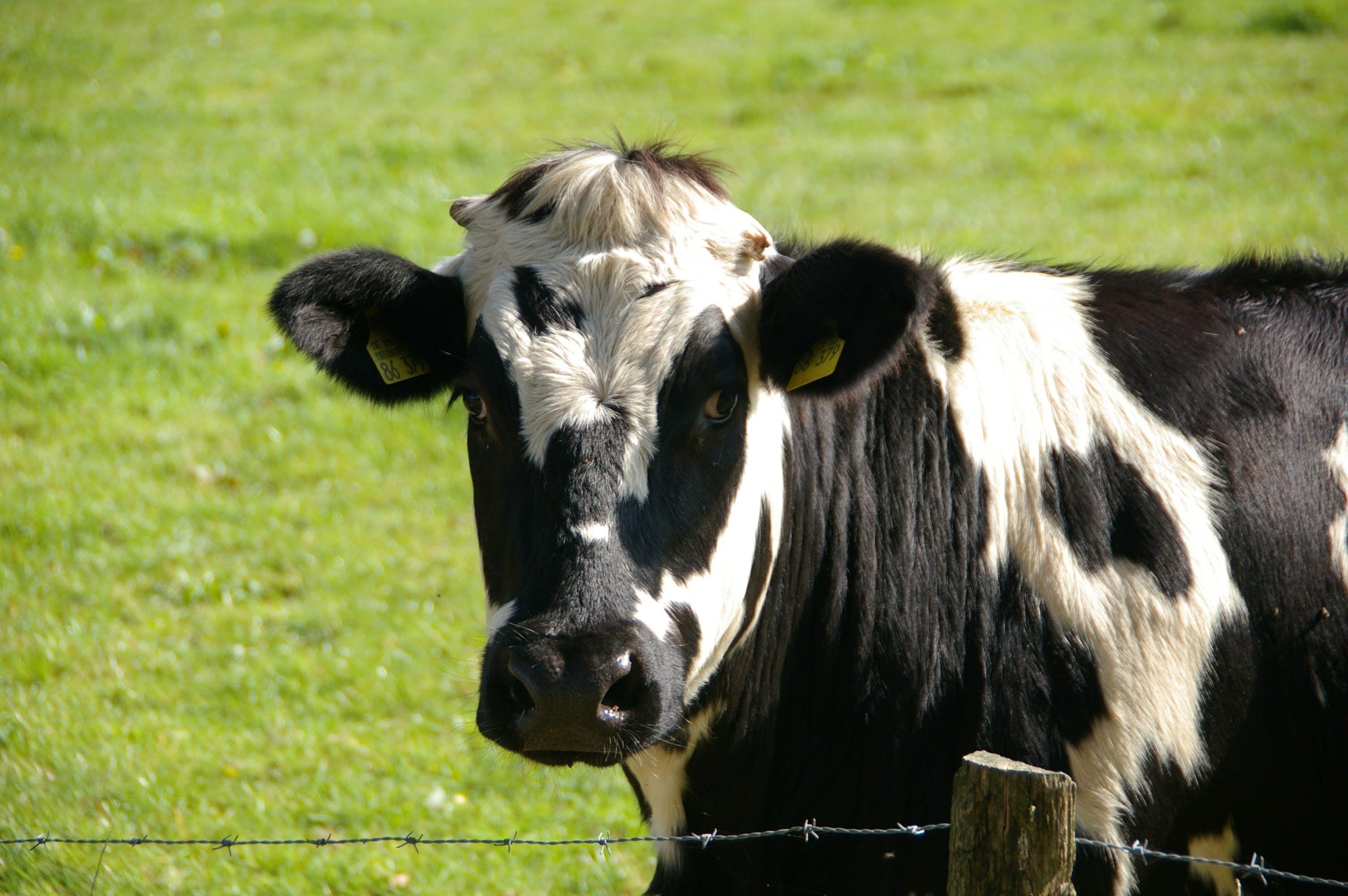 Black and White Cow in Green Grass Field