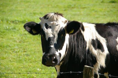Foto d'estoc gratuïta de animal, animal domèstic, bestiar, camp d'herba