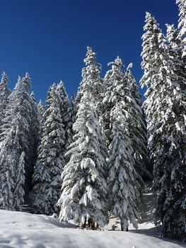 Snow Covered Green Forest Trees during Day