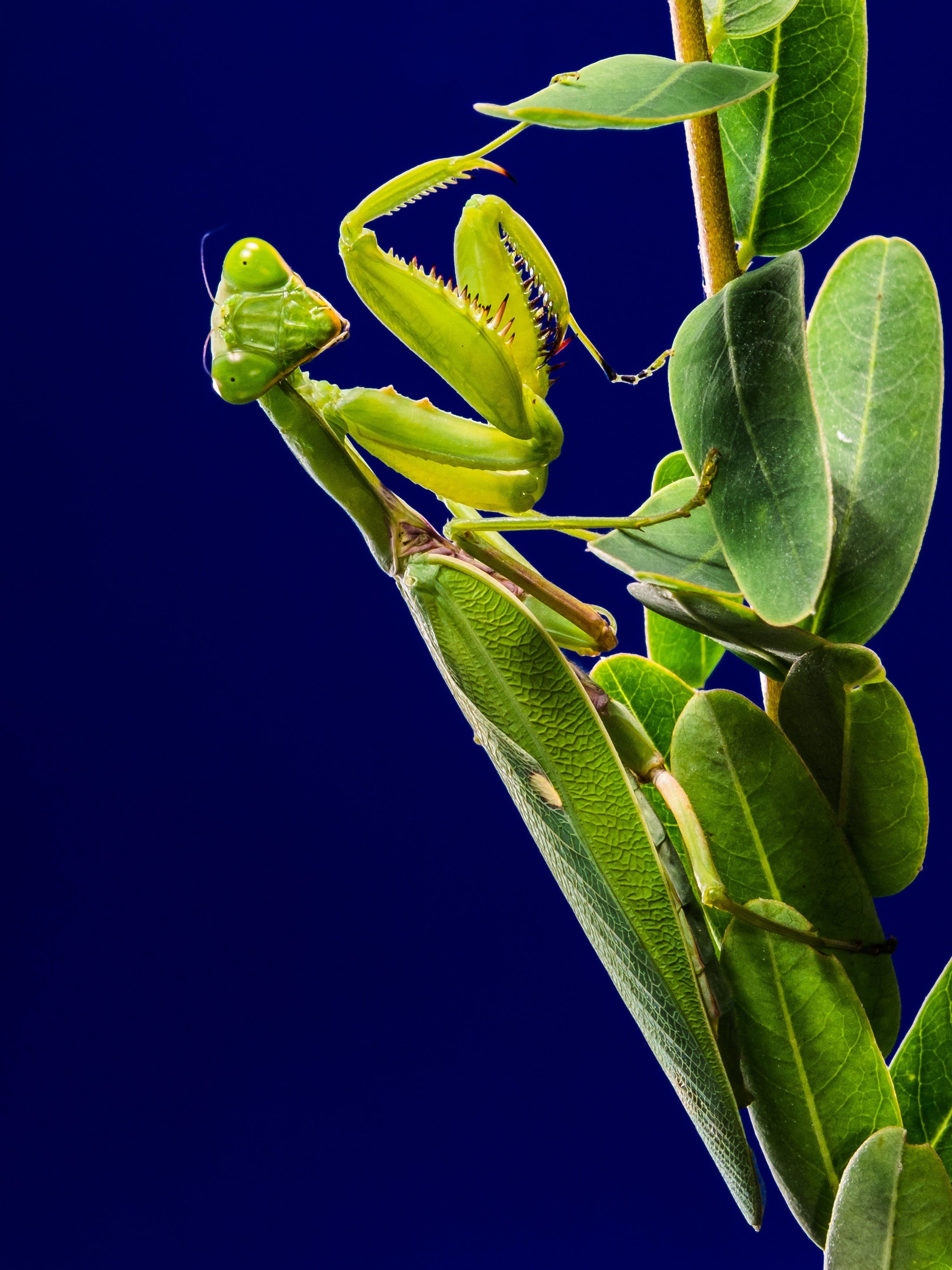 Green Praying Mantis on Green Leaf