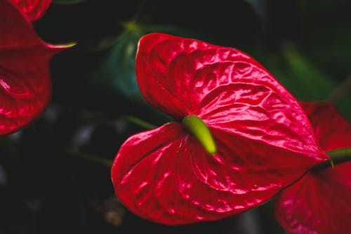 Top view of blooming Anthurium andraeanum with bright red and green heart shaped leaves