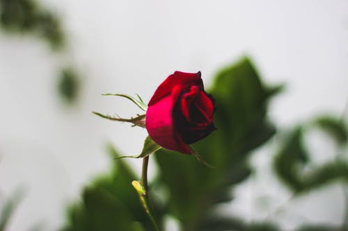 From above tender of blooming red rose bud on thin stem against blurred leaves