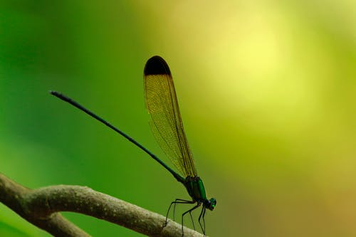 vestalis apicalis, 검은 뾰족한 숲의 영광, 곤충, 매크로의 무료 스톡 사진
